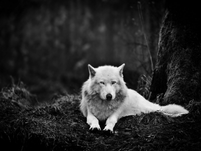 gray-wolf-sanctuary_47913_990x742
