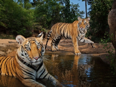 tigers-watering-hole-winter_47917_990x742