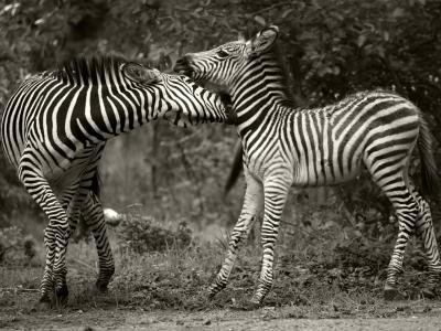 zebra-pair-zambia_48280_990x742