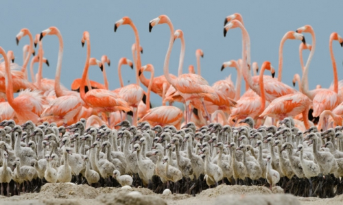flamingo - national geographic
