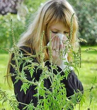 Ambrozia afecteaza tot mai multe persoane in vestul tarii. Se estimeaza ca in cativa ani in Romania vor fi cateva milioane de alergici.