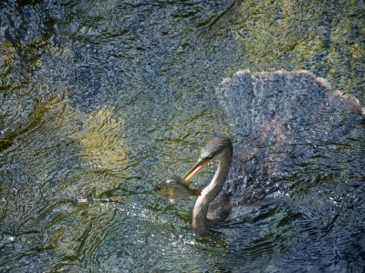 anhinga-bird-everglades_47924_990x742