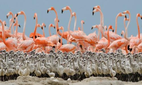 flamingo - national geographic